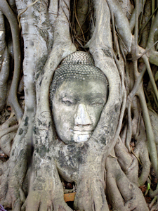 Buddha Head Tree